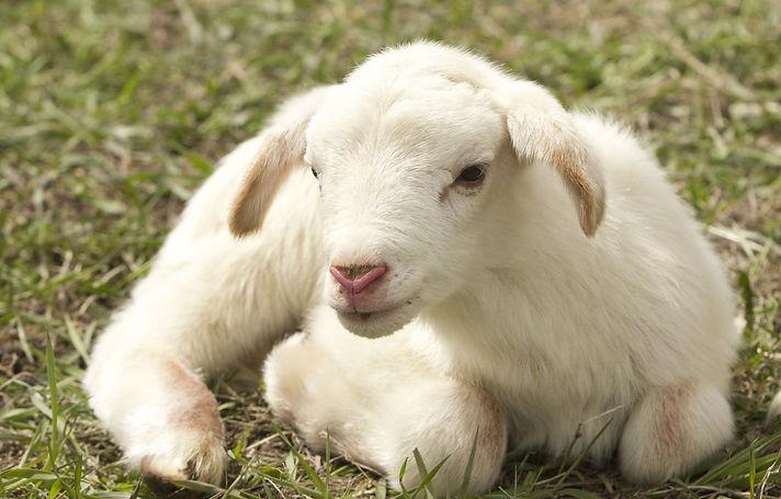 lamb-2216160_1920_edited.jpg