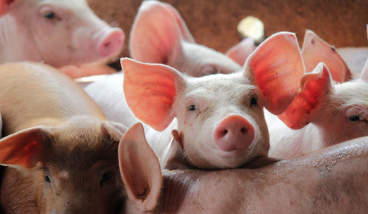 pigs-dreamstime.JPG