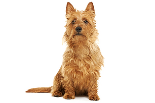 australian terrier.png