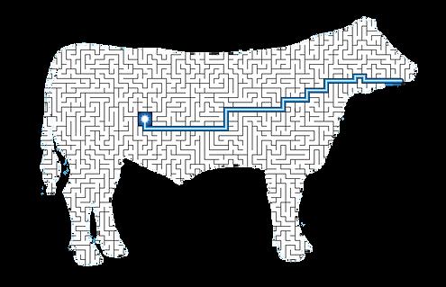 Maze diagram absorption site- Bovine