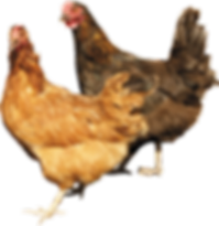 chicken_PNG2144.png