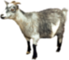 goat_PNG13146.png