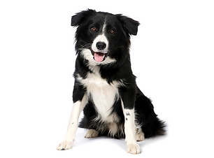 collie.png