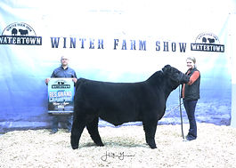 Maine Anjou Bull Res Lindsey Wolles .jpg