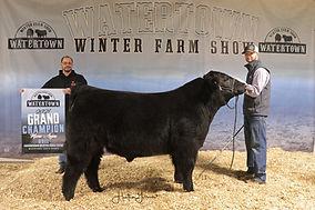 Maine Anjou Bull Gr Gilbertson Cattle.jp