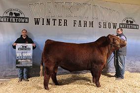 Shorhorn Plus Bull Res VW Cattle.jpg