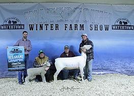 Sheep Dorset Res Duane Aldrich.jpg