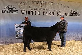 Maine Anjou Heifer Gr Par 5 Cattle Compa