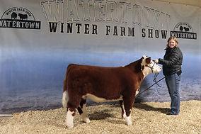 Shorthron Plus Steer Gr KG Livestock.jpg