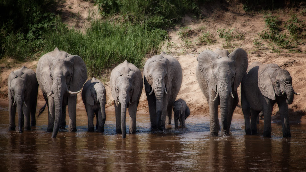 Elephants Drinking And Protecting Their Young