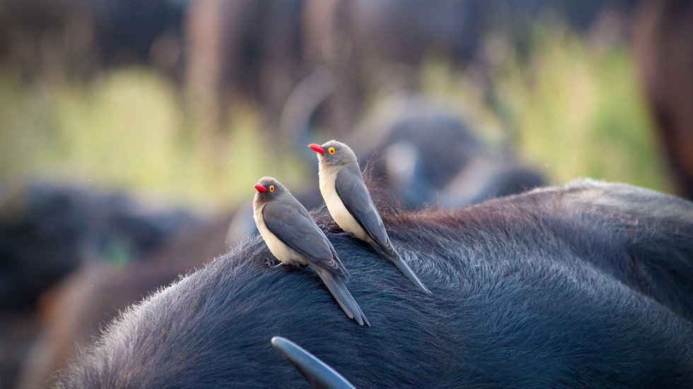 Two Oxpeckers And A Buffalo