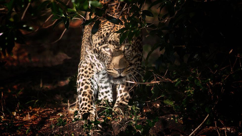 Male Leopard Begins Evening Hunt