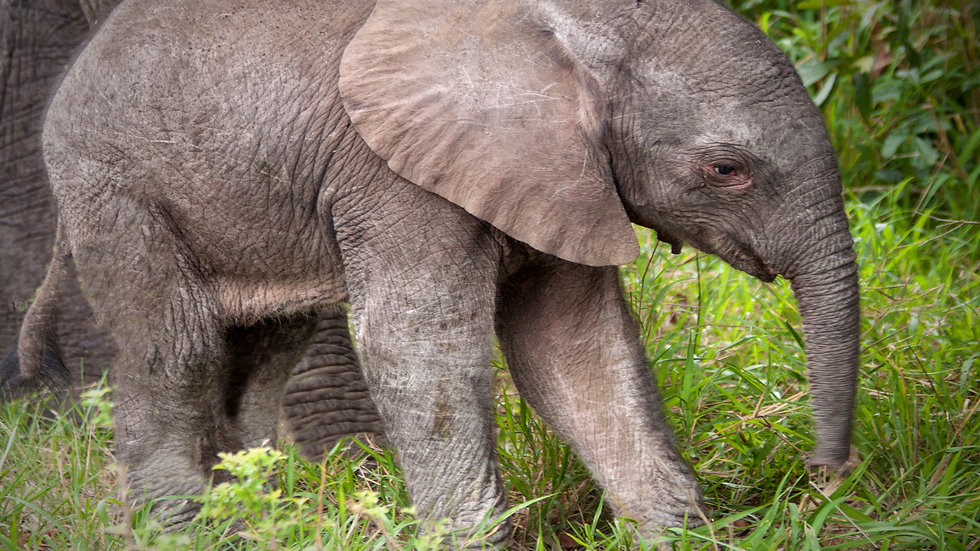 A One Day Old Baby Elephant