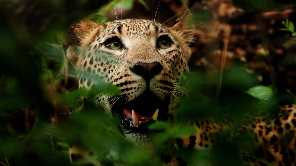 Female Leopard Hides A Kill