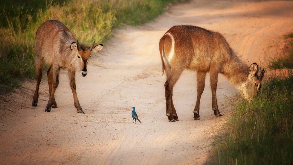 Waterbuck And Cape Starling Impasse