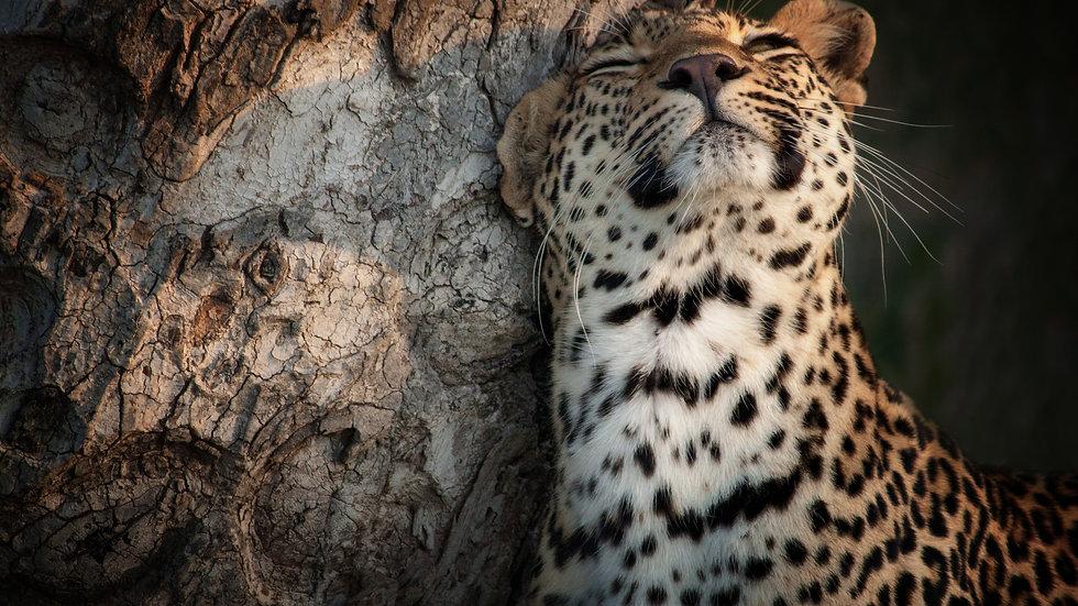 Leopard Scent Marking Her Territory