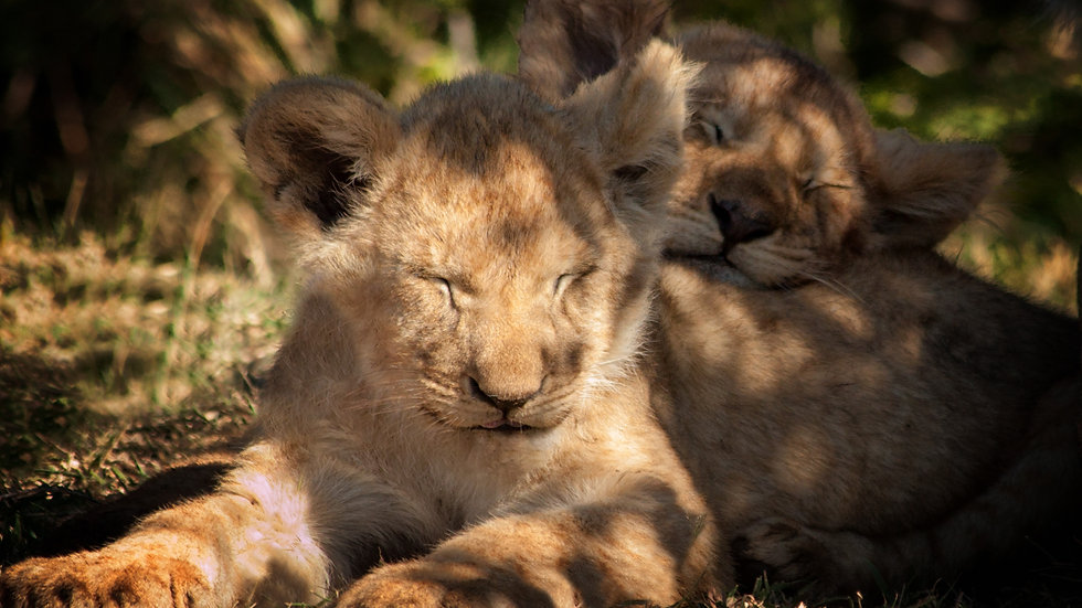 Lion Cubs Asleep In The Sun
