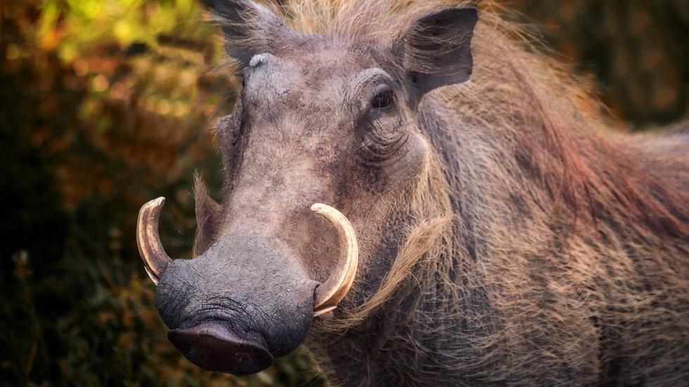 Warthog At Dusk