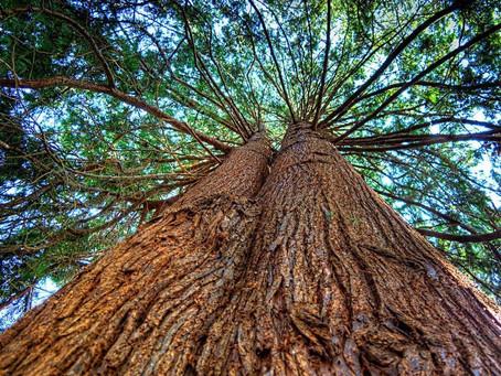 El cedro, la herencia de nuestros antepasados.