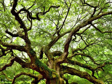 Tzalam, el fabuloso árbol Maya