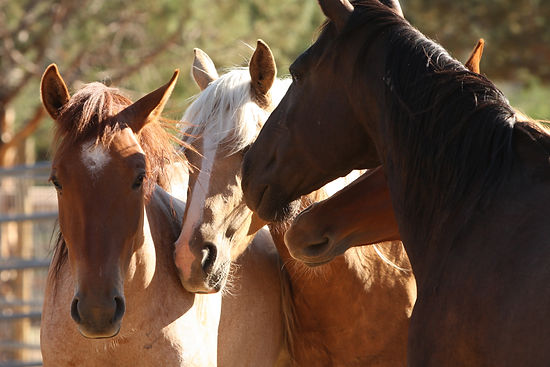 wild horses at Sacred Spirit SanctuaryHope, Miel, Cymbal and Joaquin