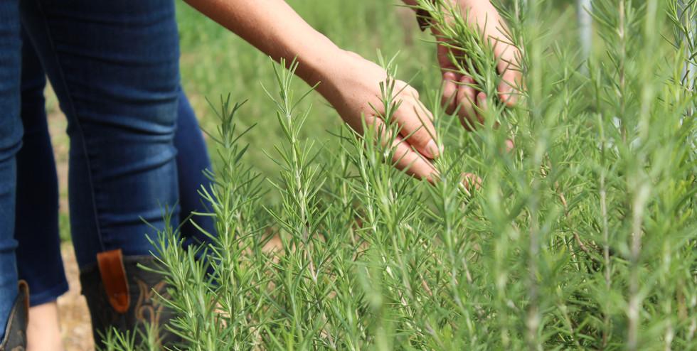 Meadow on the Moon Farm_Rosemary