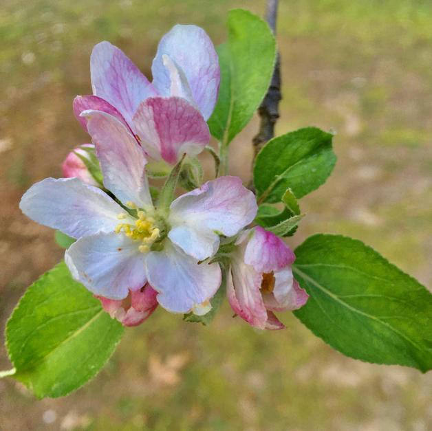 Apple Blossom Beauty