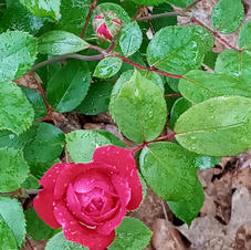 Roses Will Bloom Again