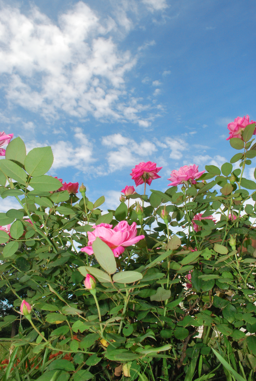 Roses - Heather Hinson