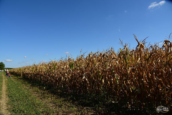 coming out of corn maze