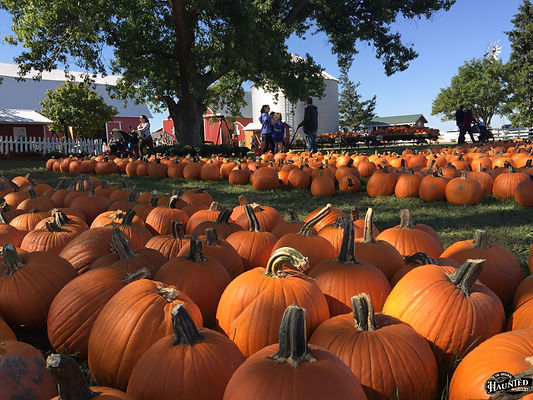 pumpkins rows