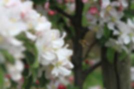 Fleurs de pommes namur, wallonie, belgique