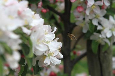fleurs de pommes / fleurs de poires