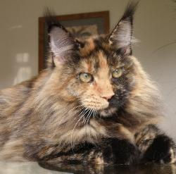 Karmacoons maine coon kitten breeder flo