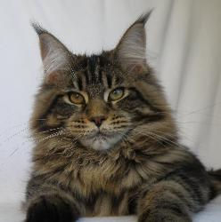 Maine coon kitten for sale madalion 1.jp