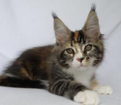 gaia brown with white mc kitten 2.jpg