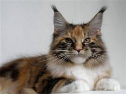 Maine coon kitten for sale gemma 1.jpg