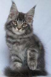 grayson 11 week old mc kitten 1.jpg