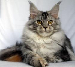 Isadora girl maine coon kitten silver wi