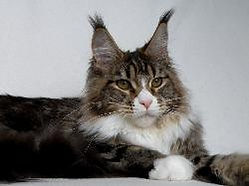 Maine coon kitten for sale panama 2.jpg
