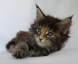 pinache 9 week old maine coon 2.jpg