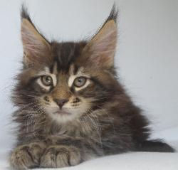 Zephyr boy maine coon kitten for sale 1.