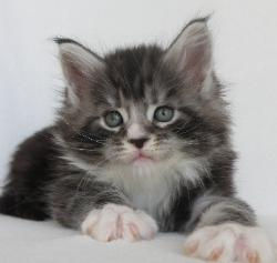 xander 5 week old maine coon kitten 2.jp
