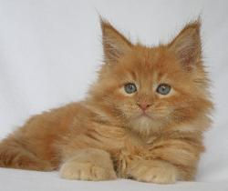 paxton a red male maine coon kitten for
