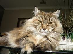 Maine coon kittens for sale winona 1.jpg