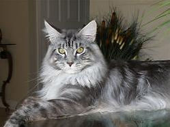Maine coon kittens for sale armani 1.jpg
