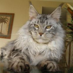 Maine coon kitten for sale riker 2.jpg