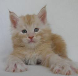 xenon red male tabby 5 week old maine co