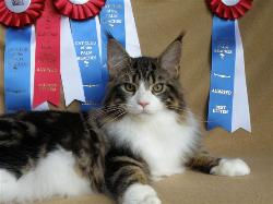 Maine coon kittens for sale chocolate mo