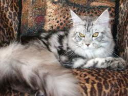 Maine coon cat florida felix mystique 2.
